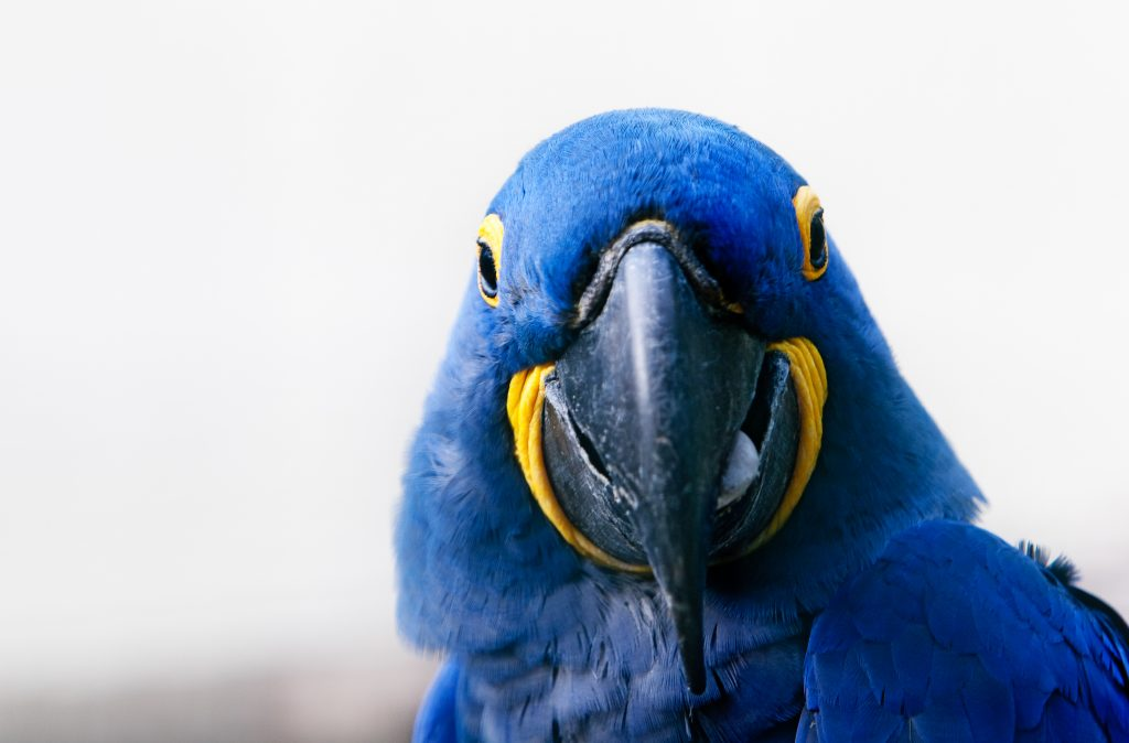 portrait blue hyacinth macaw Credit Shutterstock