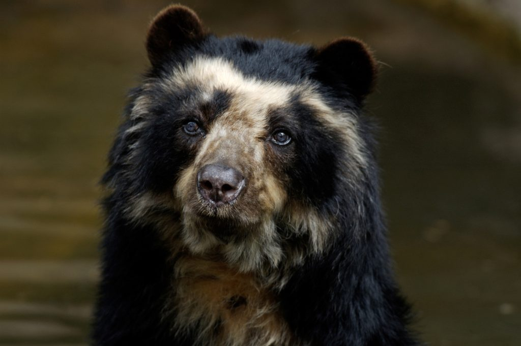 Tremarcots ornatus, spectacled bear credit shutterstock