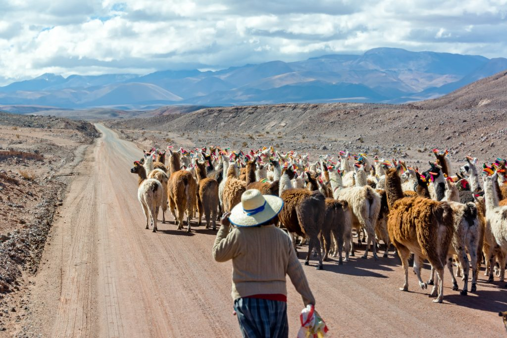 Woman herding llamas on a road near San Pedro de Atacama