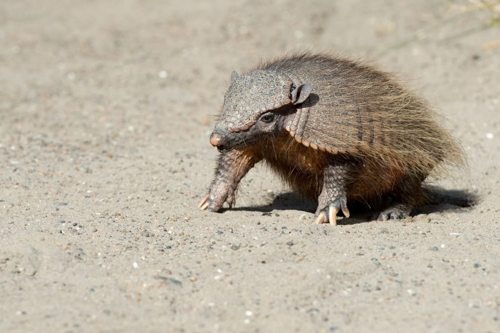 armadillo close up portrait in patagonia credit shutterstock