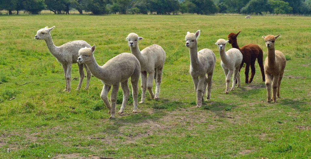 Alpacas in field walking credit shutterstock