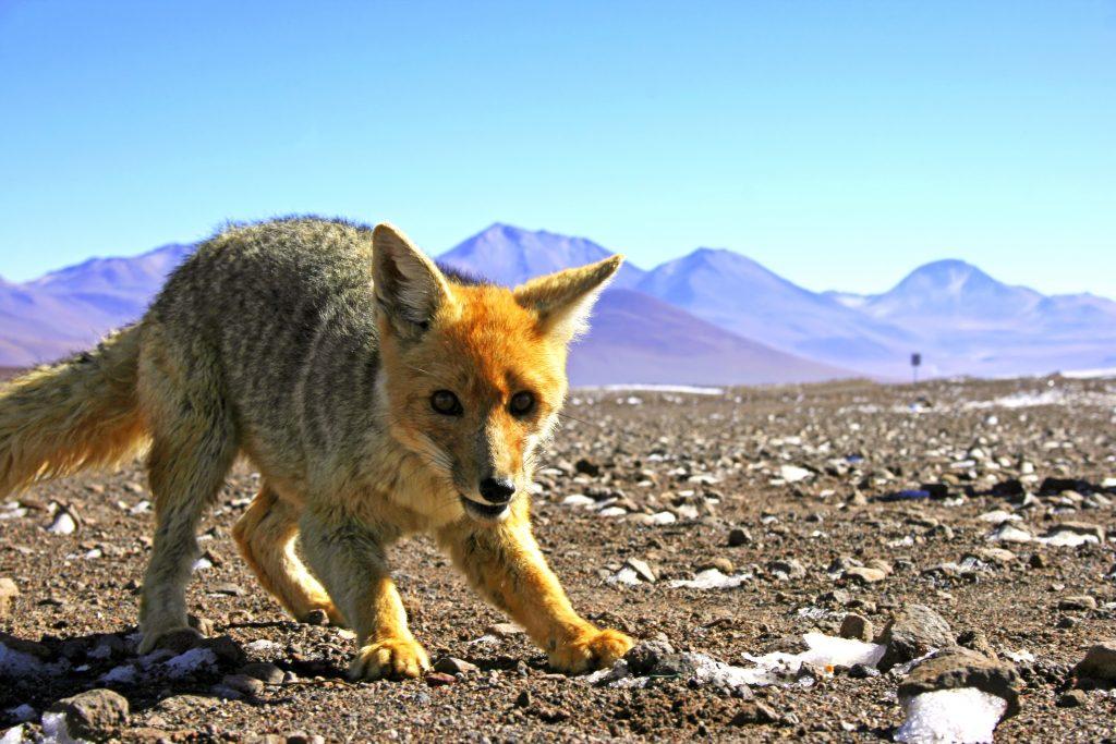 Fox Andean credit shutterstock