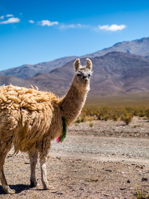Llama in the Andes credit shutterstock