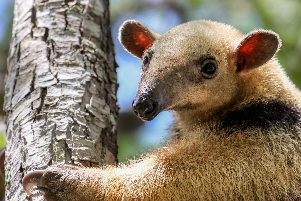 Close up of a Southern tamandua climbing up a tree, Pantanal, Brazil credit shutterstock