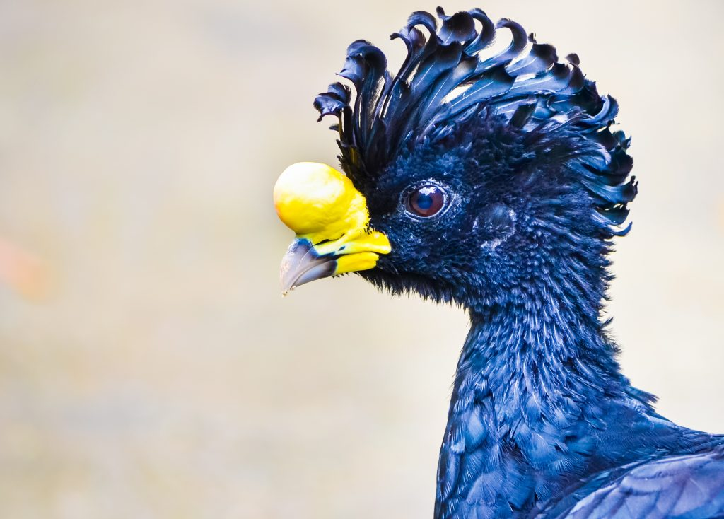 Weird bird Bare-faced Curassow head closeup with black feathers and crest and strange yellow beak with soft focus Credit Shutterstock