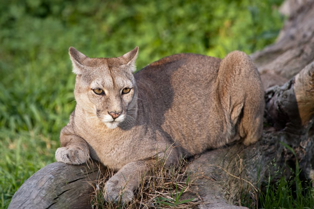 Puma or Cougar in Patagonia - Puma concolor credit shutterstock