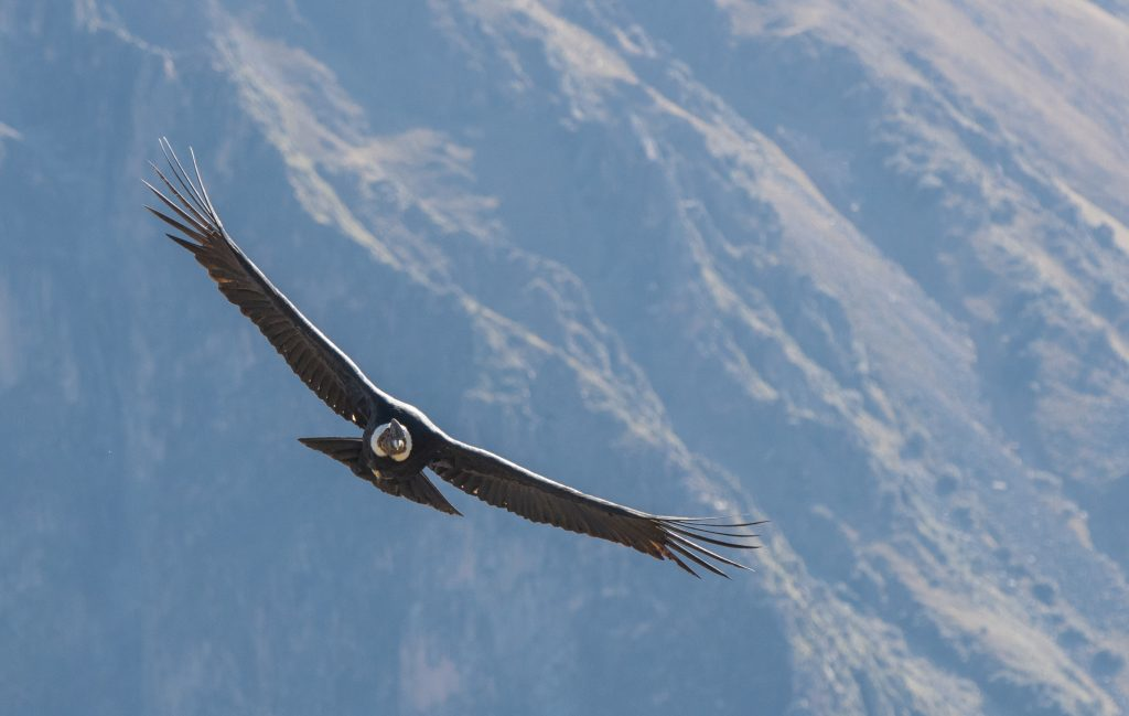 Andean Condor in Flight credit shutterstock
