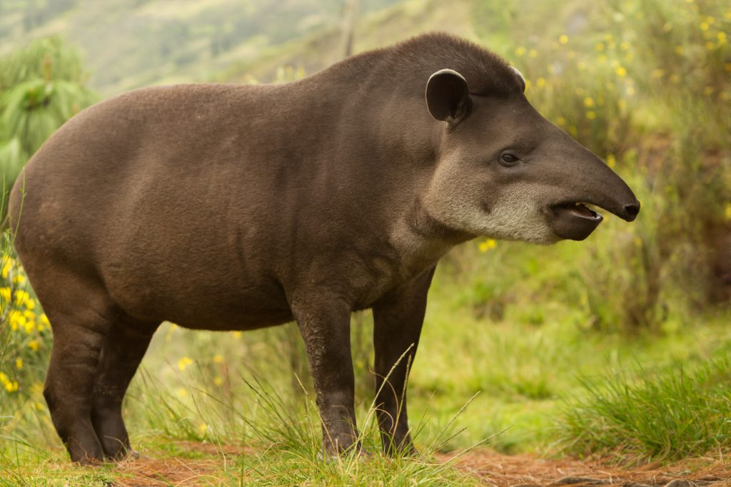 Adult Female Mountain Tapir In The Wood Shot In The Ecuadorian Highlands Of Andes credit shutterstock