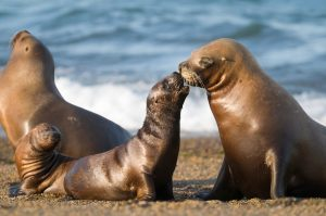 Mother and baby sea lion, Patagonia credit shutterstock