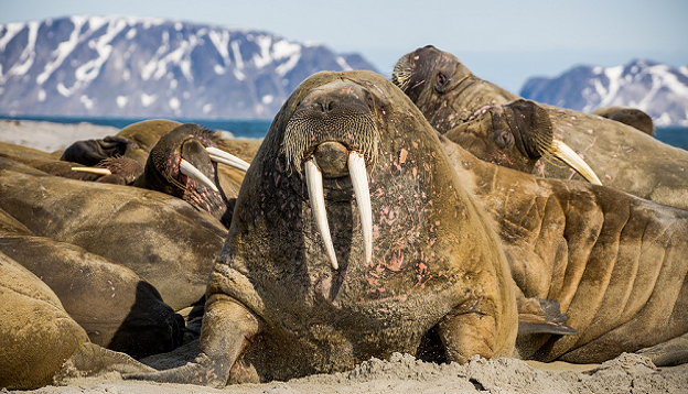 Walrus lying with the group, Spitsbergen.