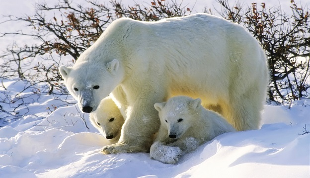Polar Bear with her twin cubs of the year, Canada.