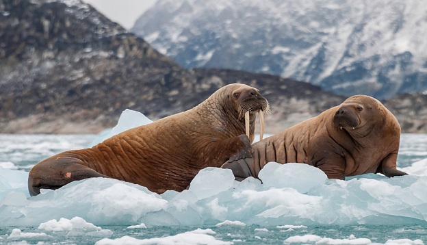 Walrus and her pup floating on ice in a fjord, Eastern Greenland.
