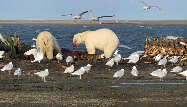Two polar bears eating whale meat.