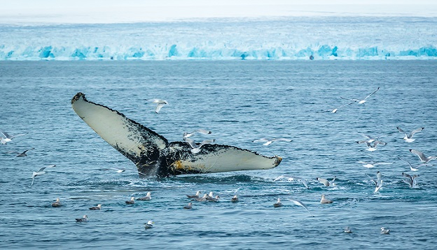 Humpback Whale, East coast of Svalbard, Norway.
