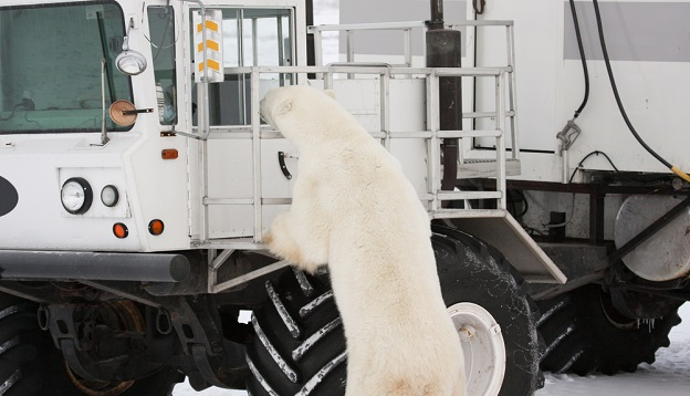 Curious polar bear sniffing around a tundra buggy.