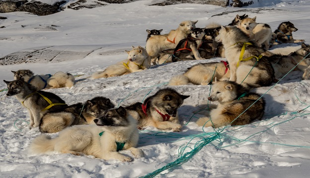 A team of Greenland husky dogs, West Greenland.
