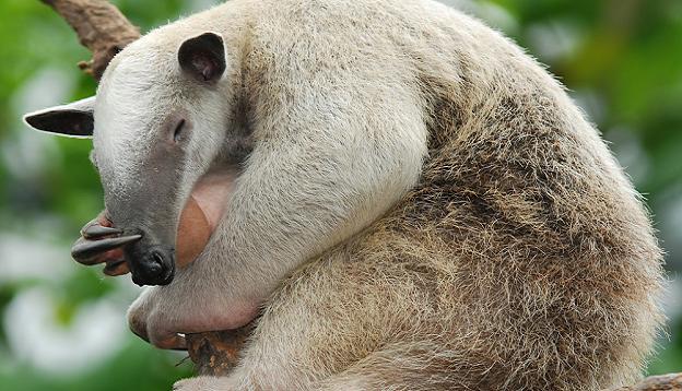 Tamandua Anteater.