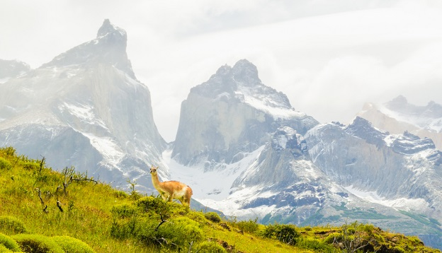 A guanaco animal in Torred Del Pain National Park, Patagonia.