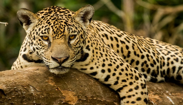 A jaguar, Brazil. Photo Credit: Shutterstock