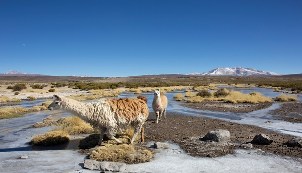 Llamas grazing, Bolivia. Photo Credit: Shutterstock