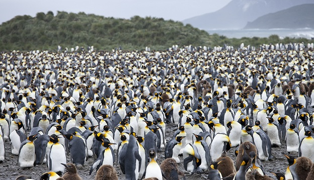 King Penguin colony, South Georgia Island. Photo Credit: Shutterstock