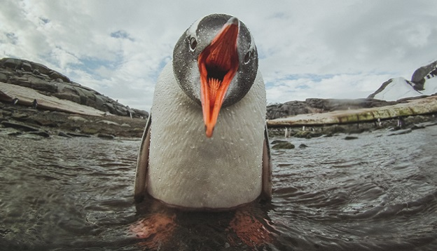 Gentoo Penguin up close. Photo Credit: Shutterstock