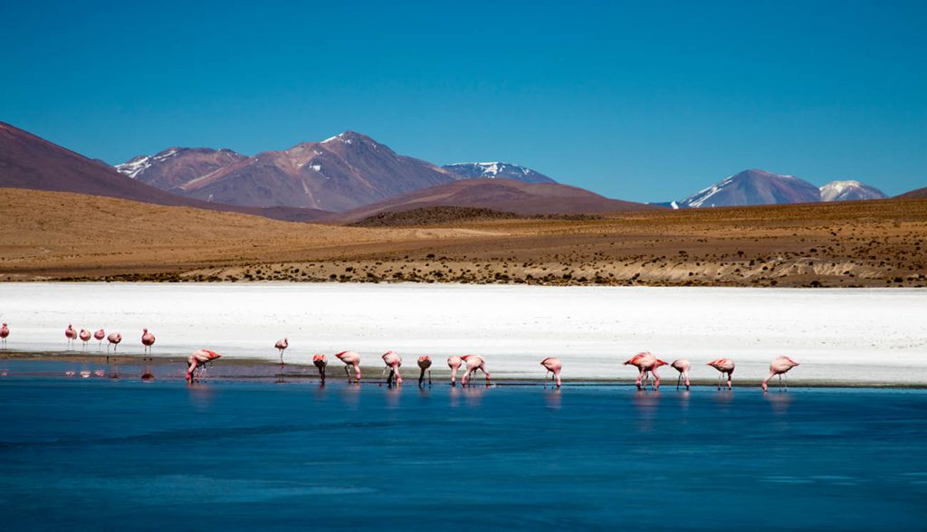 Flamingos feeding in a lake in the Bolivia altiplano, with mountains and volcanos in the back