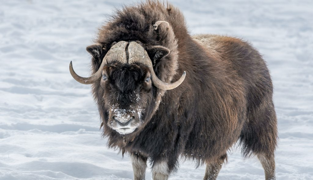 Muskox Looking in Your Eyes, standing in the snow