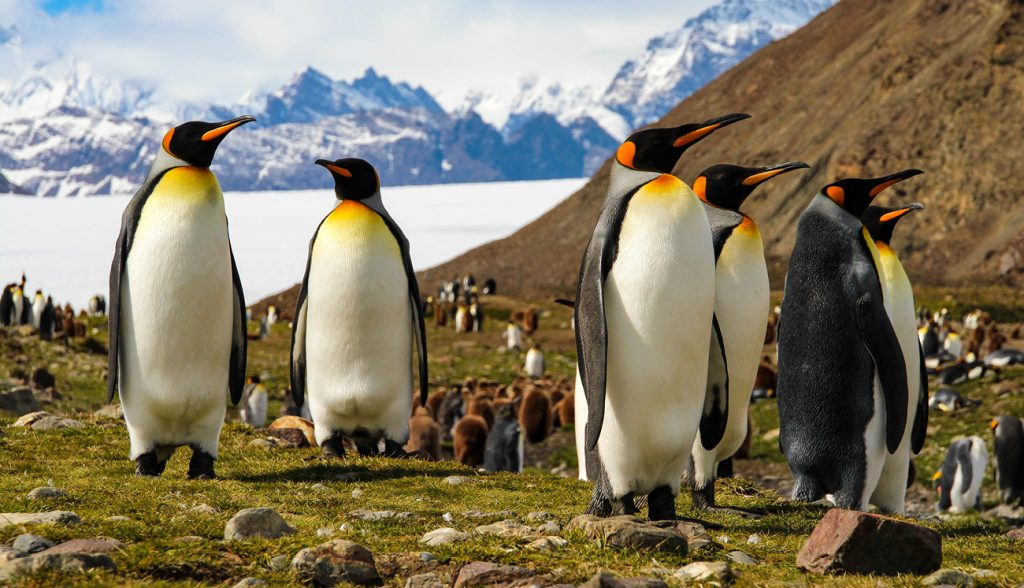 King penguins on South Georgia Island, Antarctica