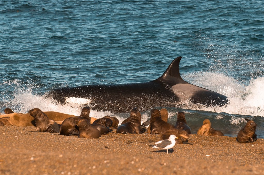 Killer whale hunting sea lions, Patagonia, Argentina