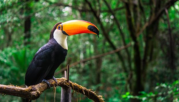 Toucan, Amazon Jungle. Photo: Shutterstock