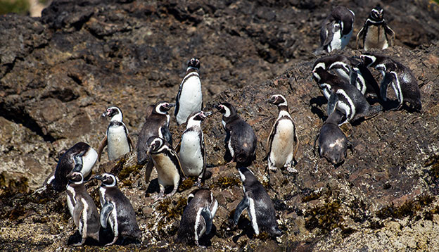 Magellanic and Humboldt penguin colony on Chiloé Island, Chile