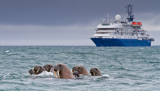 Walruses in the arctic water near Svalbard