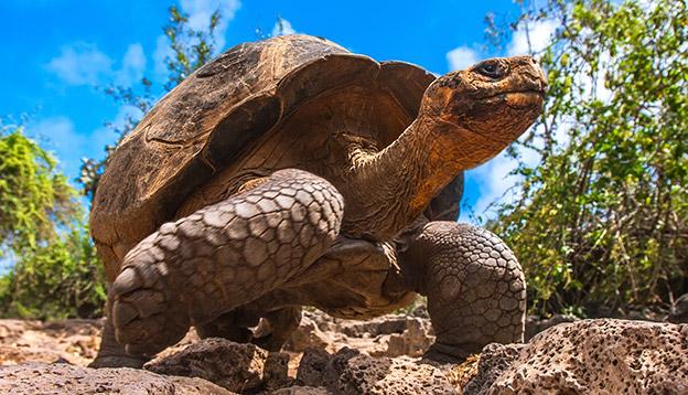 Galapagos Tortoise on the island of Santa Cruz, the Galapagos, Ecuador.