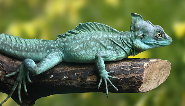 Beautiful picture of green lizard (Basiliscus plumifrons)