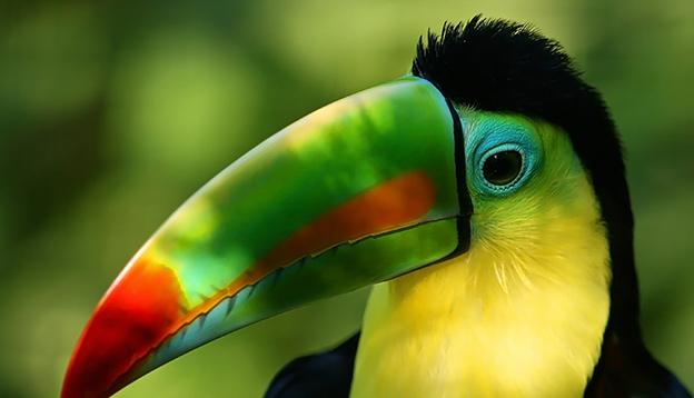 The vivid colours of a toucan