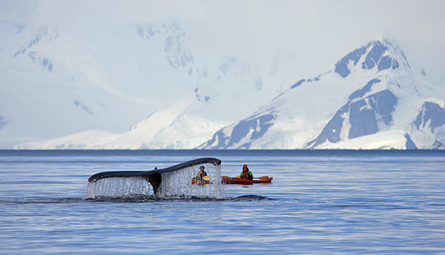Kayakers get an up close view of a humpback whale, Antarctica Peninsula.