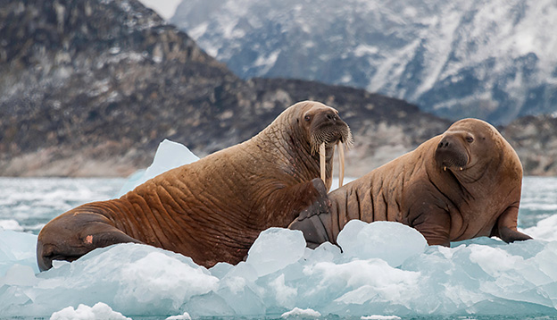 Walrus and her pup floating on ice in a fjord , Eastern Greenland
