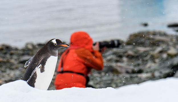 entoo penguin walking along beach on Danco Island, Antarctica, photographer in red coat in background looking the wrong way