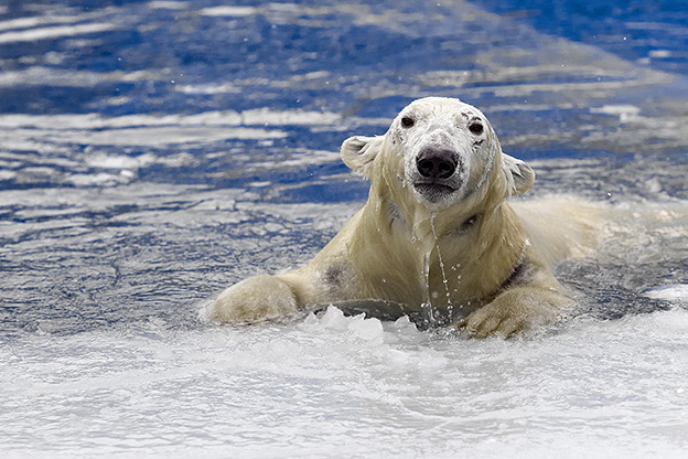 A patient photographer catches the moment a polar bear pops up through the ice. Photo: Shutterstock