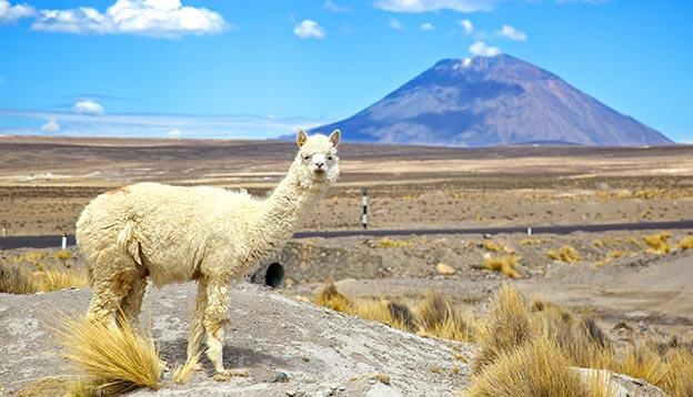 South America Alpaca with Volcano EL Misti in the background