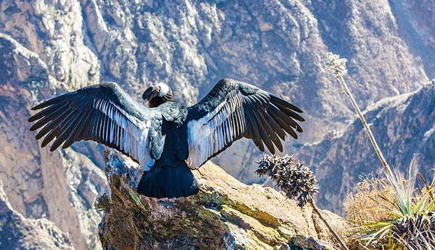 An andean condor stretching its wings before a deep valley - Colca Canyon, Peru