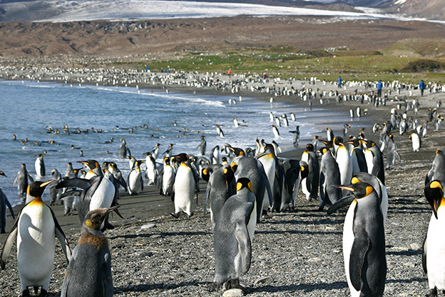 hundreds of King Penguins line a rocky beach shore in South Georgia.