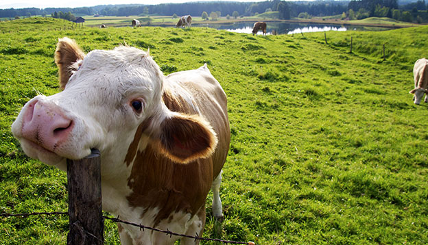 Photo of a smiling cow scratching itself on a fence post.