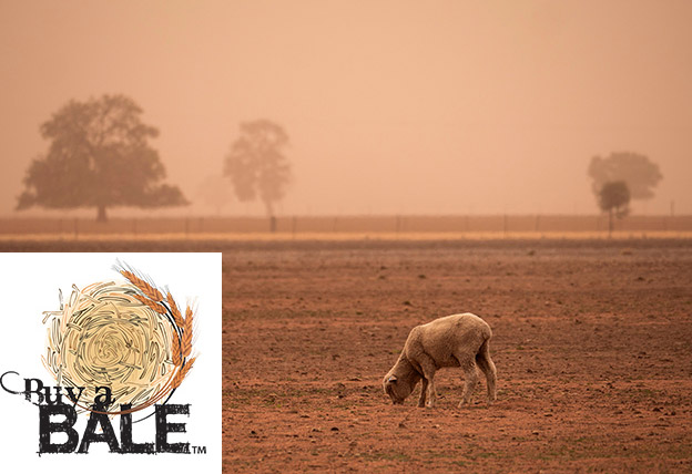 Sheep searching for something to eat in a dry dusty paddock during a dust storm