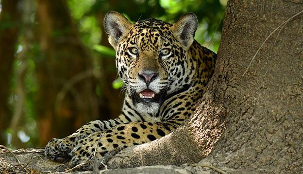 Jaguar relaxing in the Pantanal, Brazil