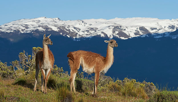 2 Guanaco stand on a hilltop with a snow capped mountain in background - Patagonia