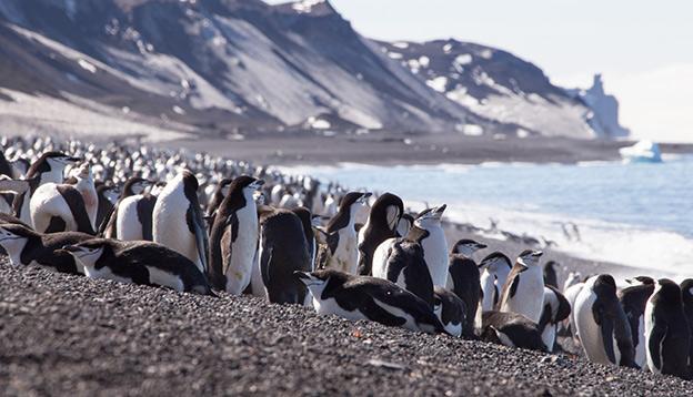 Chinstrap Penguin, South Shetland Islands, Antarctica.