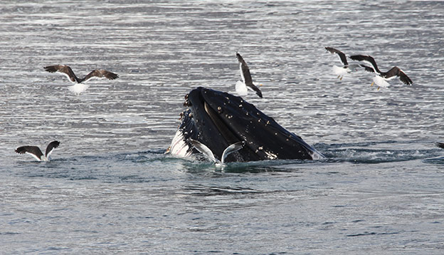 A humpback whale pokes its head above the water as birds fly around it