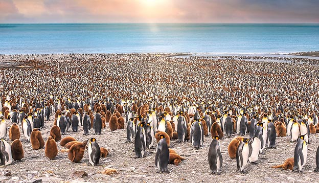 An aerial view of a huge colony of thousands of King Penguins on South Georgia ISland